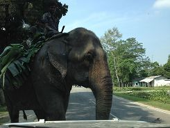 Elephant on the road!